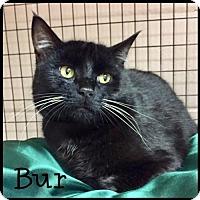 Adopt A Pet :: Bur- SPONSORED ADOPTION FEE - Jasper, IN