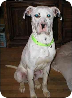 Dalmatian/Boxer Mix Dog for adoption in Milwaukee, Wisconsin - Luke