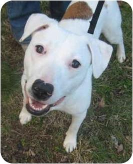 American Bulldog/Labrador Retriever Mix Puppy for adoption in Atlanta, Georgia - Nellie
