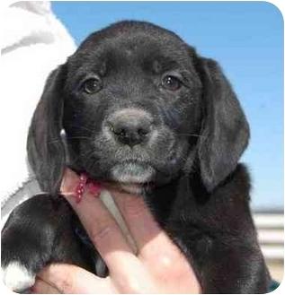 Labrador Retriever Mix Puppy for adoption in Evergreen, Colorado - Skittles