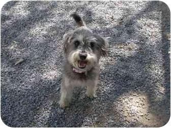 Schnauzer (Miniature) Dog for adoption in Baton Rouge, Louisiana - Sasha
