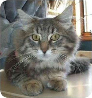 Maine Coon Kitten for adoption in North Judson, Indiana - Duncan
