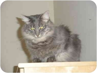 Maine Coon Cat for adoption in Davis, California - Gilligan