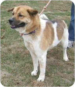 Akita Mix Dog for adoption in Metamora, Indiana - Miss Nikita