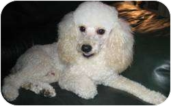 Poodle (Miniature) Dog for adoption in Dover, Massachusetts - Terry