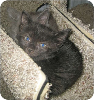 Domestic Mediumhair Kitten for adoption in Marseilles, Illinois - Spookie