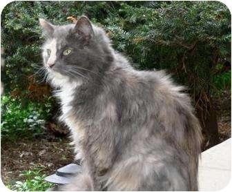 Domestic Longhair Cat for adoption in Kirkwood, Delaware - Shirley
