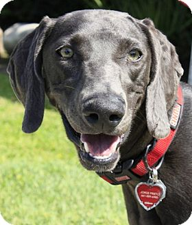 Weimaraner Dog for adoption in Sun Valley, California - Abby