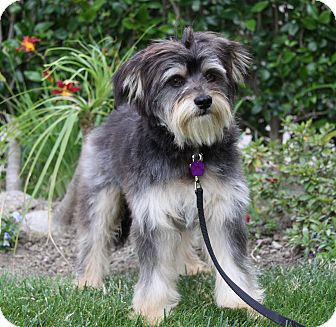 Tibetan Terrier/Havanese Mix Dog for adoption in Newport Beach, California - SULLIVAN