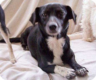 Dachshund/Terrier (Unknown Type, Small) Mix Dog for adoption in Greensboro, Georgia - Nita