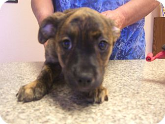 Labrador Retriever/Boxer Mix Puppy for adoption in Kelseyville, California - Cricket