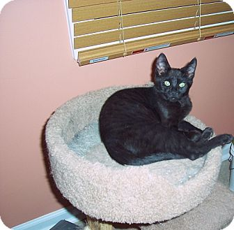Domestic Shorthair Kitten for adoption in North Plainfield, New Jersey - Louie