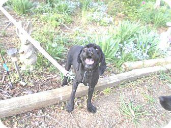 Cocker Spaniel Dog for adoption in Kannapolis, North Carolina - Lady Kena -Adopted!