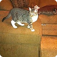 Domestic Shorthair Cat for adoption in Baton Rouge, Louisiana - Banjo
