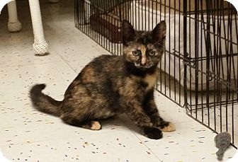 Domestic Shorthair Kitten for adoption in East Meadow, New York - Sima