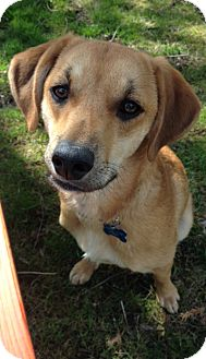 Labrador Retriever Mix Puppy for adoption in Mt. Prospect, Illinois - Summer