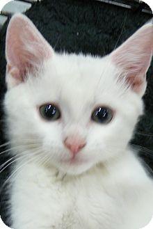 Domestic Shorthair Kitten for adoption in Springfield, Pennsylvania - Beethoven