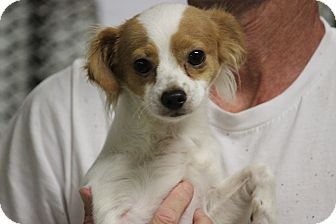 Papillon Mix Dog for adoption in Hershey, Pennsylvania - Cappy