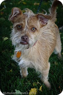 Brussels Griffon/Shih Tzu Mix Puppy for adoption in Broomfield, Colorado - Mali