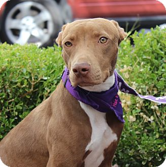 Greyhound/American Pit Bull Terrier Mix Puppy for adoption in Las Vegas, Nevada - MOCHA