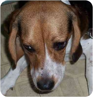 Beagle Puppy for adoption in Ventnor City, New Jersey - MADDIE