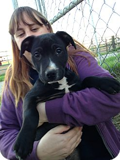 Pit Bull Terrier Mix Puppy for adoption in Tracy, California - Bartleby-ADOPTED!