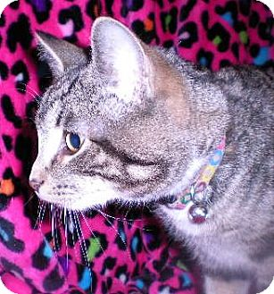Domestic Shorthair Cat for adoption in New Castle, Pennsylvania - Tink