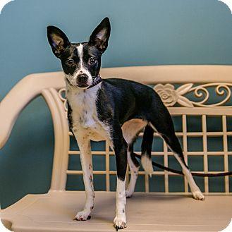 Italian Greyhound/Terrier (Unknown Type, Medium) Mix Dog for adoption in Staunton, Virginia - Ariel