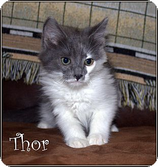 Domestic Mediumhair Kitten for adoption in Yuba City, California - Thor