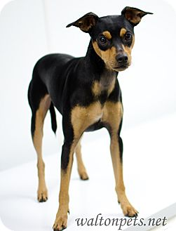 Miniature Pinscher/Manchester Terrier Mix Dog for adoption in Monroe, Georgia - Chadder