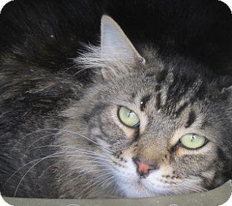 Maine Coon Cat for adoption in Aiken, South Carolina - SALEM