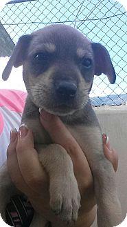 Terrier (Unknown Type, Medium)/Sheltie, Shetland Sheepdog Mix Puppy for adoption in Zephyr, Ontario - Sebastian