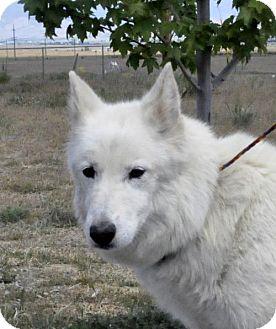 Alaskan Malamute/Siberian Husky Mix Dog for adoption in Yreka, California - Blondie