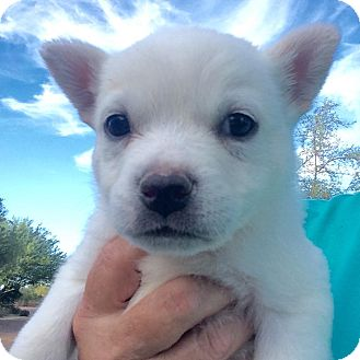 Australian Cattle Dog/Pug Mix Puppy for adoption in Cave Creek, Arizona - Meadow