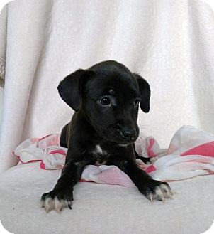 Boxer/Labrador Retriever Mix Puppy for adoption in Newark, Delaware - Tally