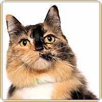 Domestic Longhair Cat for adoption in Glendale, Arizona - Charlamayne