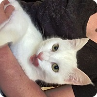 Domestic Shorthair Cat for adoption in Somerset, Kentucky - Luna