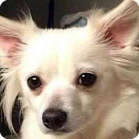 Adopt A Pet :: Momma Mia Valentine - Boston, MA
