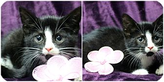 Domestic Shorthair Kitten for adoption in Forked River, New Jersey - Lucy