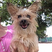 Cairn Terrier Mix Dog for adoption in Temecula, California - Skipper