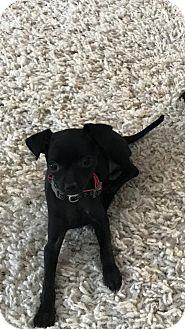 Chihuahua/Miniature Pinscher Mix Puppy for adoption in Hazelwood, Missouri - Roxy