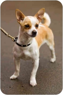 Chihuahua Mix Dog for adoption in Portland, Oregon - Lewis