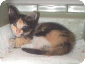 Calico Kitten for adoption in Miami Beach, Florida - Amber