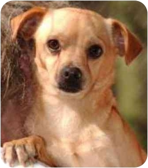 Chihuahua/Pug Mix Dog for adoption in Rolling Hills Estates, California - Karl