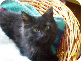 Domestic Longhair Kitten for adoption in Cleveland, Ohio - JT(Jack Tripper)