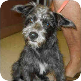 Miniature Schnauzer Mix Dog for adoption in San Clemente, California - BOSCO