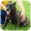 Photo 1 - Labrador Retriever/Shepherd (Unknown Type) Mix Dog for adoption in Somerset, Pennsylvania - Mia