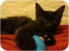 Domestic Shorthair Kitten for adoption in Coral Springs, Florida - Fluffykins