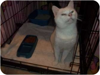 Domestic Shorthair Cat for adoption in Hampton, Virginia - Whitie