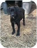 Golden Retriever Mix Puppy for adoption in Spring Valley, New York - Pink